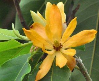 キンコウボク(金厚香朴、マグノリア・チャンパカ)の種