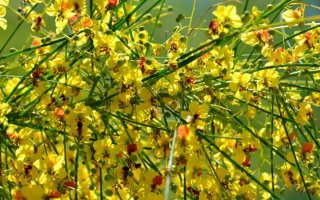 エルサレムソーン(パーキンソニア・アクレアタ)の種