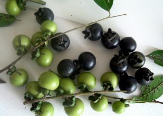 マクルア柿の種
