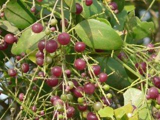 サルバドル・ペルシカ(ツースブラッシュツリー)の種
