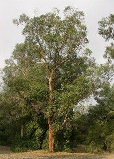 ユーカリ・ロボスタ(ビクトリアユーカリ、オオバユーカリ)の種