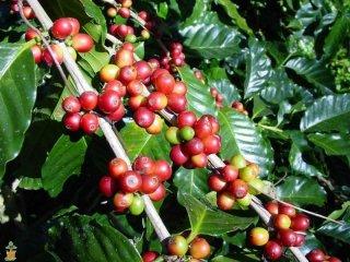 アラビカコーヒーノキ(ナナ)の種