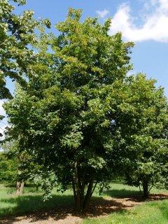 セイヨウシナノキ(リンデンバウム)の種