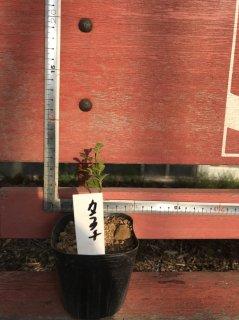 カラタチの苗: 実生苗(20cm)3号ポット