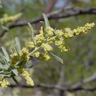 チャミザ(アトリプレックス・カネスケンス)の種