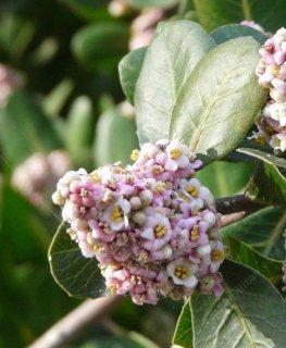 レモネードベリーの種