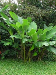 カラテア・ルテア(Cachibou)の種