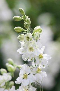 ホワイトラークスパー(千鳥草)の種