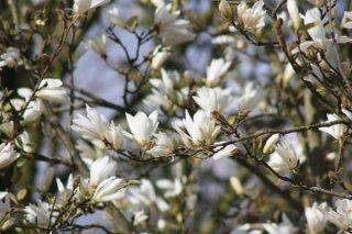 コブシ(辛夷、マグノリア、田打ち桜)の種