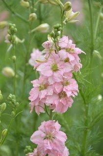 ライトピンクラークスパー(千鳥草)の種