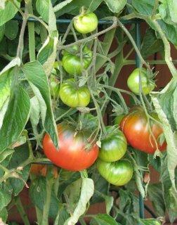 ブラックシーマントマトの種