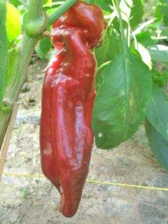 ドゥルセイタリアーノスイートペッパー(パプリカ)の種