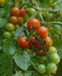 ピッコロチェリートマトの種