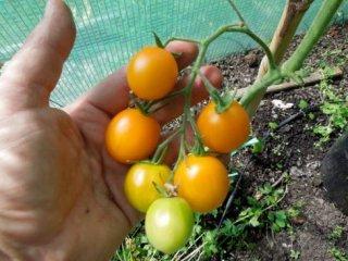 オレンジベリートマトの種