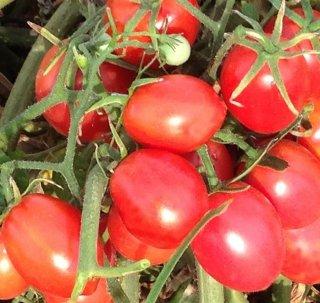 ブランディースイートプラムトマトの種