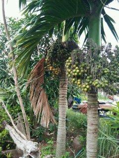 ビンロウヤシ(ビンロウジ、ベテルパーム、檳榔椰子)の種
