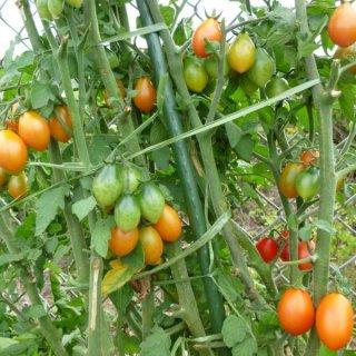 サブマリンブラッシュトマトの種