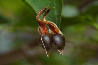 ジンコウ(沈水香木、アクイラリア・シネンシス)の種