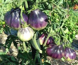 ブルーペアートマトの種