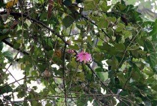コークティリスパッションフルーツの種