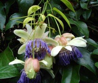 ポペノヴィパッションフルーツ(パーフェクトパッションフルーツ)の種