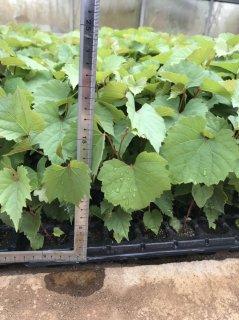 ワインブドウの台木(リパリア×ルペストリス101-14): メリクロン苗(20〜30cm)