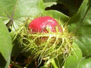 コットンリーフパッションフルーツの種