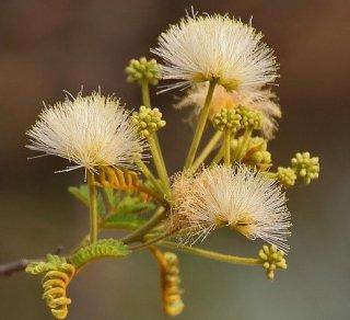 アルビジア・リチャーディアナの種