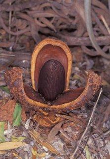 【研究用】プロソパンケ・アメリカーナの種
