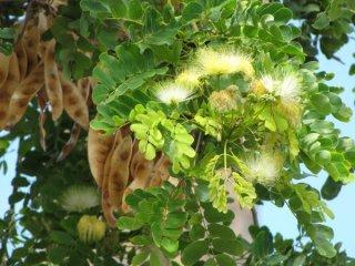 アルビジア・レベック(ビルマネム)の種
