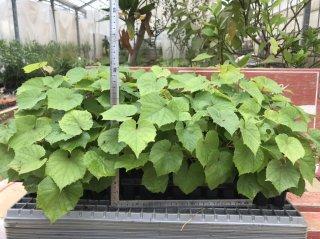 ワインブドウの台木(ペルランディエリー×リパリァ テレキ5BB): 挿し木苗(20〜30cm)
