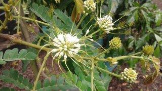 アルビジア・アディアンシフォリア(フラットクラウン)の種
