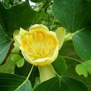 ユリノキ(アメリカンチューリップツリー)の種