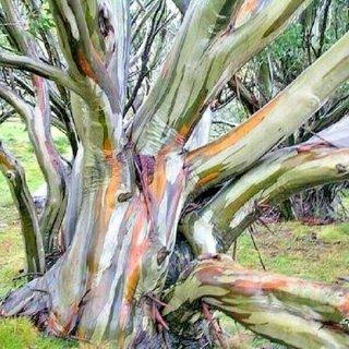 ユーカリ・ポージフロラ(スノーガムユーカリ、ホワイトサリー)の種