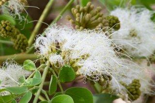 アルビジア・グアチャペレの種