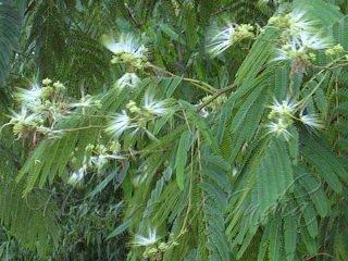 アルビジア・チネンシスの種
