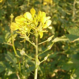 ホワイトマスタード(シロガラシ)の種