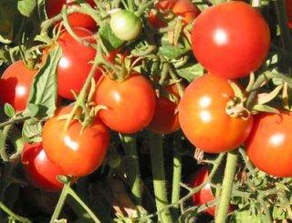 グレーシアトマトの種