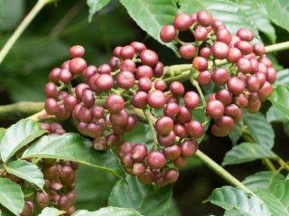 リーア・インディカ(バンディクートベリー)の種