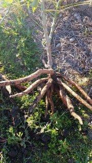 キャッサバ(マニホット)の挿し枝