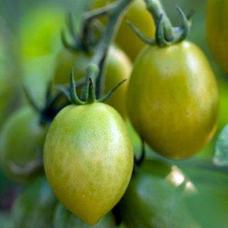 グリーンエンビートマトの種