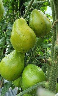 アメージングペアートマトの種