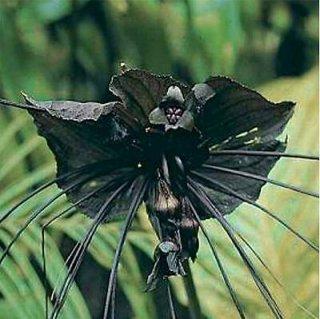 タッカ・シャントリエリ(ブラックキャット、デビルフラワー)の種