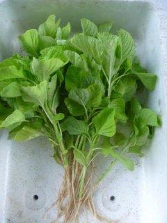 白ひゆ菜(バイアム)の種