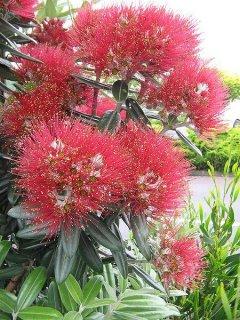 ニュージーランドクリスマスツリー(メトロシデロス・エクスケルサ)の種