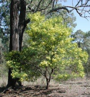 アカシア・デクレンス(ブラックワトル、ミモザアカシア)の種