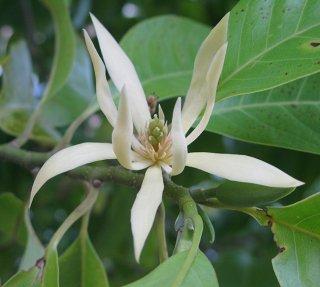 ギンコウボク(銀厚朴、マグノリア・アルバ、玉蘭、ホワイトチャンパカ)の種