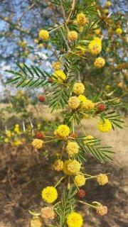 アカシア・クサントフロエア(フィーバーツリー)の種