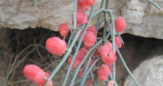 ジョイントパイン(エフェドラ・フラジリス、 脆麻黄)の種