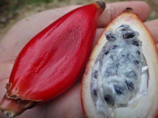 アフラムム・アングスティフォリウム(マダガスカルジンジャー)の種